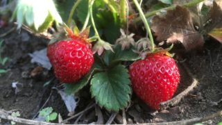 大好きなイチゴのお世話【農家のレシピ帳】