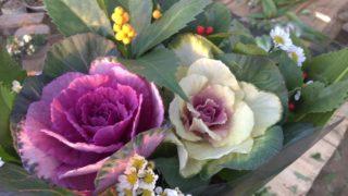 お正月の花!葉牡丹や千両を束ねました♪【農家のレシピ帳】