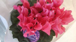 """花言葉は""""憧れ""""。ピンク色のシクラメン【農家のレシピ帳】"""