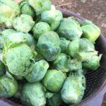 芽キャベツの収穫♪【農家のレシピ帳】