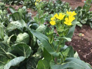 菜の花とは?畑で見つけた、野菜の菜の花をご紹介!【農家のレシピ帳】