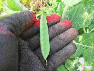 絹さやの収穫がはじまりました♪旬は春から初夏まで【農家のレシピ帳】