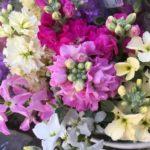 花言葉は永遠の美!可愛らしい花、ストック【農家のレシピ帳】
