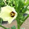 オクラの花と赤ちゃんたち。/畑より今日の一枚。【農家のレシピ帳】