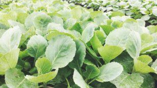 雨上がりのキャベツ苗。/畑より今日の一枚。【農家のレシピ帳】