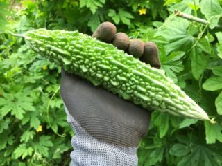 ニガウリの季節。/畑から今日の一枚。【農家のレシピ帳】