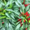 緑と赤の唐辛子。/畑から今日の一枚。【農家のレシピ帳】
