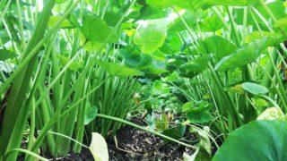 緑のトンネル。/畑から今日の一枚。【農家のレシピ帳】