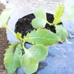 練馬大根の芽。/畑から今日の一枚。【農家のレシピ帳】