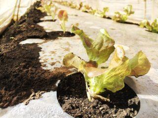 リーフレタスが成長中。/畑から今日の一枚。【農家のレシピ帳】