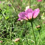 秋の花、コスモス。/畑から今日の一枚。【農家のレシピ帳】