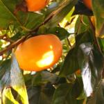 夕暮れの柿。/畑から今日の一枚。【農家のレシピ帳】