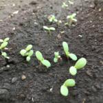 春菊の芽。/畑から今日の一枚。【農家のレシピ帳】