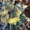 ブロッコリーの花。/畑から今日の一枚。【農家のレシピ帳】